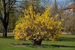Die Sonne scheint und blüht ..... (Sockenhummel) Tags: forsythie volksparkwilmersdorf volkspark busch frühling gelb fuji xt10