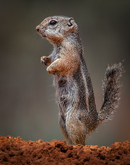 Harris's Ground Squirril (Eric Gofreed) Tags: arizona harrissgroundsquirril mybackyard sedona villageofoakcreek yagvapaicounty
