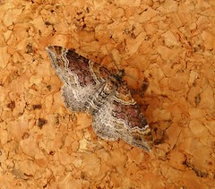 Red Twin-spot Carpet (gailhampshire) Tags: twinspot carpet red moth