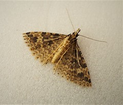Twenty Plumed (gailhampshire) Tags: twenty plumed moth