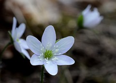 Round Lobed Hepatica (jmunt) Tags: wildflower nativewildflower flower nature roundlobedhepatica hepaticanobilis
