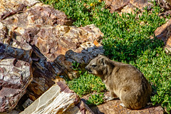 Rock Hyrax (Dassie) (Johann (Still Me!)) Tags: procaviacapensis capehyrax rockhyrax dassie klipdas pimbi pelele wibari wabr tabsoun shafansela weeklytheme flickrlounge photographerschoice johanndejager ef70300mmf456isusm canoneos7dmarkii