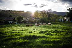 Green april (PaxaMik) Tags: frenchcountry countryside country cows green spring printemps vaches sunset moody atmosphère grass