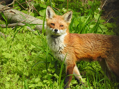 Red Fox Vixen - Stepping out of the shadows (annette.allor) Tags: red fox nature vulpes lactating wildlife