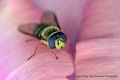 Hoverfly (Gary Grossman) Tags: tulip flower hoverfly insect macro closeup oregon northwest spring nature garygrossman garygrossmanphotography pacificnorthwest woodenshoetulipfarm macrophotography willamettevalley