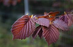 Brown leafs. Like the details and bokeh (Carl Terlak) Tags: sony spring brown leafs detail apsc zeiss nex6 carpathia emount exposure ilce