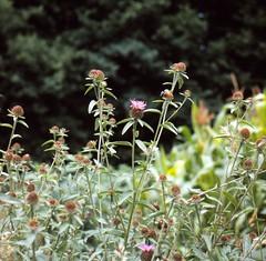 Centaurea nigra subsp. nemoralis (JORD.) GREMLI Hain-Flockenblume hardheads (Spiranthes2013) Tags: deutschland germany unterfranken lowerfranconia bayern bavaria becker 1991 pflanze plant diaarchiv diascan scan kfwolfstetter asteraceae korbblütler euasteriden euasterids asterales asternartige carduoideae cynareae centaureanigrasubspnemoralisjordgremli hainflockenblume hardheads centaureanigrasubspnemoralis flockenblume grovehardheads 6x6 6x6dias