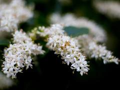 Privet in full fettle (Thomas Cizauskas) Tags: privet flower bloom blossom shrub invasive spring decatur georgia closeup bokeh canon canonfd legacylens manualfocus fotodiox botany