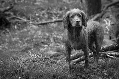 'Soggy Doggy' (Taken By Me Photography) Tags: black blackandwhite white dog working cocker spaniel k9 wet water out outside run monochrome mono nikon d750 takenbyme takenbymephotography wwwtakenbymephotographycouk walk walkthedog