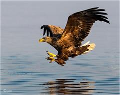 SEA EAGLE MORNING LIGHT (d1ngy_skipper) Tags: seabirds scotland waterbirds raptors whitetailed fisheagle fishing norway europeanwildlife europeanbirds englishnature