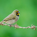 Ciguíta de Hierba - Yellow-faced Grassquit (Tiaris olivaceus)