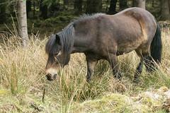 Dartmoor Pony-8893 (WendyCoops224) Tags: 100400mml 80d forestofdean canon eos ©wendycooper dartmoor pony