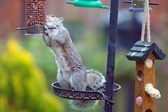 Mummy squirrel helping herself (Skidmarks_1) Tags: squirrel squirrels animals garden feeding wildlife