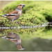 Hawfinch (female) - Appelvink (vrouw) - (Coccothraustes coccothraustes)