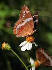Nectar Gatherers (peterkelly) Tags: digital canon 6d northamerica mexico gadventures mayandiscovery chiapas palenque palenquenationalpark bandedpeacock anartiafatima butterfly flower