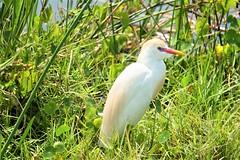 Cattle Egret in breeding plumage (arielfischer) Tags: cattleegret bubulcuscoromandus kuhreiher bubulcusibis gardeboeufdasie восточнаяегипетскаяцапля hérongardeboeufs garcillabueyera garzaganadera