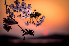 夕陽桜 #2ーSunset Cherry Blossoms #2 (kurumaebi) Tags: yamaguchi 秋穂 nikon d750 nature 山口市 landscape 桜 cherry cherryblossom 菜の花 spring 春 sunset 夕陽 macro マクロ dus