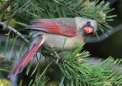 Cardinal (Marie-Helene Levesque) Tags: oiseau lexington cardinal cardinalfemelle mariehélène mariehelene