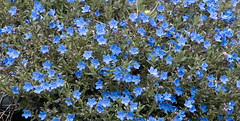 A profusion of blue flowers.      For Maria and everyone who is suffering from ME/CFS and Fibromyalgia (alisonhalliday) Tags: flowers blue nature canoneo77d canonefs18135mm smileonsaturday blueforyoume2019
