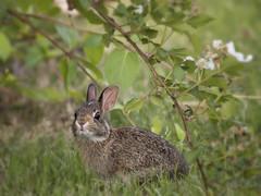 A bunny in the blackberry patch. (jeanne.marie.) Tags: babyanimals bunny rabbit blaze cute blackberrybushes spring springtime