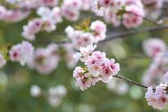 sakura (* Yumi *) Tags: sakura flower 桜 多摩森林科学園