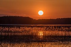 Golden reeds (teetaira) Tags: lake sunset evening backlit reeds spring finland water cloud sun reflection