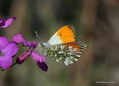 IMG_6759. Orange Tip   Anthocharis cardamines   male (Nick Ransdale) Tags: anthochariscardamines male orangetip