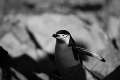 In the spotlight (LauriNovakPhotography) Tags: shadows wildlife antarcticpeninsula chinstrappenguin penguin blackwhite antarctica oneocean halfmoonisland light tamron100400