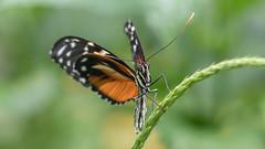 Tiger Longwing  5758 (Paul McGoveran) Tags: cambridgebutterflyconservatory nikon300mmf4 nikond850 sigma105mmf28 sigma150mmf28