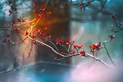 Climax (Ans van de Sluis) Tags: 2019 ansvandesluis blossom bokehlicious botanic botanical bud colours flora floral flower leaf leaves macro march nature red climax light circle