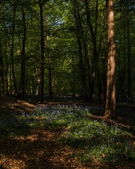 Bluebells at Hitch Wood (gaztotalmods) Tags: