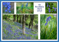 5 x Bluebells April 2019 (pollylew) Tags: bluebells wildflowers englishbluebells