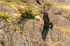 Male condor (davidthegray) Tags: estancia patagonia flight lago argentina argentino condor cristina hielo wings dipartimentodilagoargentino provinciadisantacruz