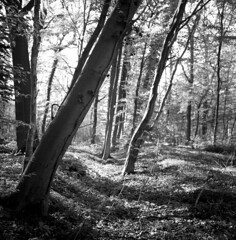 rfsl66distagon014 (salparadise666) Tags: rolleiflex sl66 distagon 50mm fomapan 100 boxspeed caffenol cl 15min nils volkmer medium format analogue film camera trees square 6x6 wood forest nature landscape detail bw black white monochrome hannover region niedersachsen germany north german plains lowlands