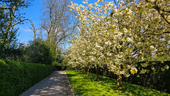 Blossom in Regents Park, London. (peterileypics) Tags: tree park flowers blossom london spring sky colour light lightroom sunshine sun