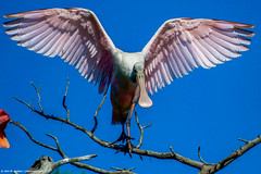 2019.04.24.9632 Roseate Spoonbill (Brunswick Forge) Tags: 2019 grouped florida bird birds animal animals animalportraits outdoor outdoors day wildlife nature staugustine nikond500 nikkor200500mm sky air sunny favorited commented