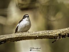 Pied Flycatcher (Richard Beresford) Tags: 2019 birds derbyshire grindleford nature padleygorge peakdistrict piedflycatcher spring trees woodland