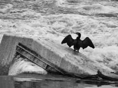 (SoloChiara) Tags: fiumepo torino cormorano
