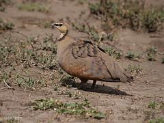 Yellow-throated Sandgrouse Pterocles guttaralis saturatior (nik.borrow) Tags: bird sandgrouse serengeti