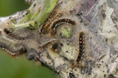 Brown-tail Caterpillars (Gareth Christian) Tags: kwt kentwildlifetrust longfieldchalkbank moth browntail euproctischrysorrhoea caterpillar