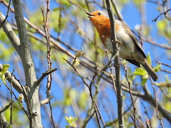 BATMAN'S WINGMAN, ROBIN CALLING! (Poppy Cocqué ♫) Tags: ap poppy poppycocqué robin sky tree outdoors outside bird sooc straightoutofcamera garden mygarden visitor spring robinredbreast
