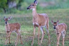 White-tailed deer. (zachzombiesphotos) Tags: