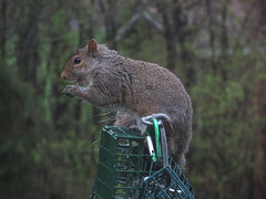 Grey Squirrel Raiding The Bird Feeder Station IMG_2200 (Ted_Roger_Karson) Tags: northernillinois squirrelseries handheldcamera squirrelfoodquarrel northern illinois grey squirrel hand held camera canon powershot sx280 hs snow back yard feeder friends miniature compact pocket seed cake zoom animals suet telephoto thisisexcellent twop test photo minicompact food canonpowershotsx280hs miniaturecompactpocketcamera