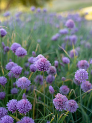 Purple Chive Flowers in the Garden (Max and Dee) Tags: flower chive chives purple garden sony a7riii california