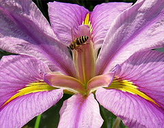 Iris and visitor (Mary Faith.) Tags: iris insect bee purple macro wasp colourful flower