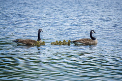 Geese family (agasfer) Tags: 2019 southcarolina greenville furman swanlake sony a6000 goslings sonye456355210oss birds