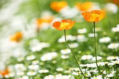 Garden (Teruhide Tomori) Tags: japan japon kyoto flower plant spring 花 京都 京都府立植物園 日本 春 植物