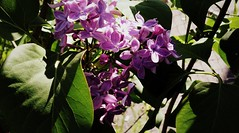 Lilac (Anna Gelashvili) Tags: цветы flowers garden ყვავილები ფოთლები ყვითელი цветок цветочки сад soil растение leaf macro bright лист макрос яркий flower lilac сирень паук ობობა spider