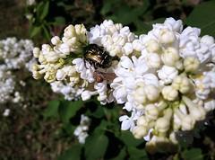 Beetle (Anna Gelashvili) Tags: beetle жук insect насекомые цветок ყვავილები ყვავილი ხოჭო цветы flowers garden цветочки flower