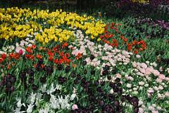 Київ, Співоче поле, тюльпани Травень 2019 InterNetri Ukraine 046